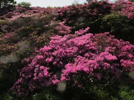 雲仙ヒカゲツツジ 1980-01-01 135
