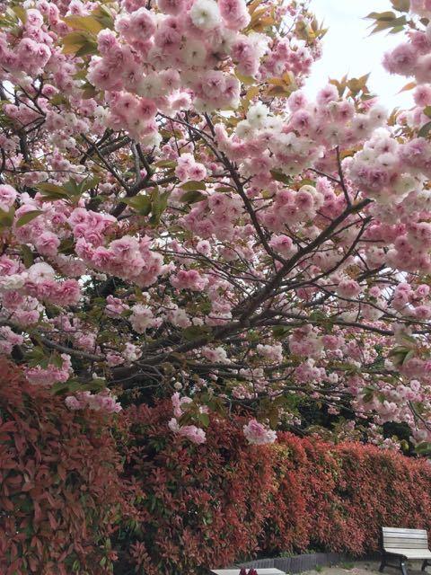 八重桜は今が旬