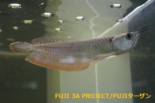 シルバーアロワナジャプラWILD