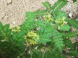 木の芽の花