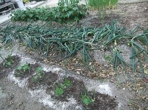 夏野菜植え付けと玉葱