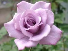 rose-rose0037.jpg