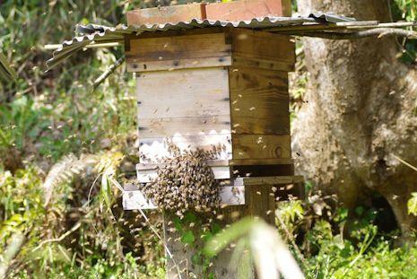ニホンミツバチの分蜂