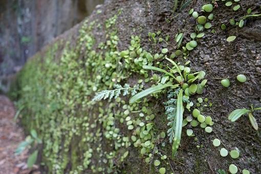 岩にもコンクリート壁にも緑がいっぱい