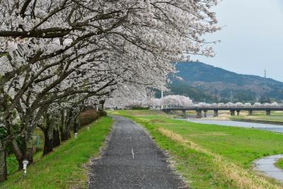 塙町 久慈川沿いの桜