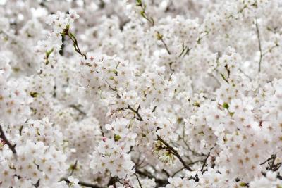 福島県石川町 今出川沿いの桜