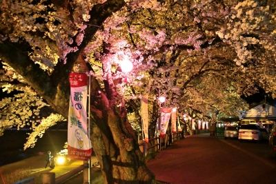 福島県石川町 今出川沿いの夜桜