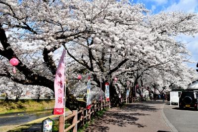 石川町 今出川の桜