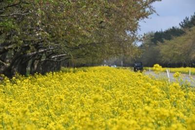 大潟村 菜の花ロード
