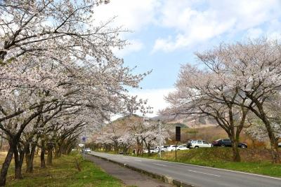水沢温泉付近の桜