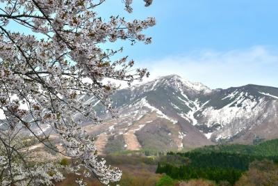 秋田駒ケ岳と桜