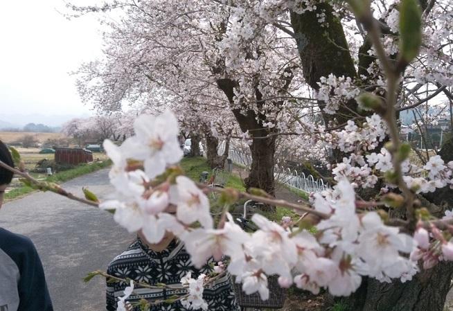 2018.04桜並木