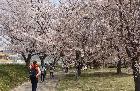 20180402_桜トンネル