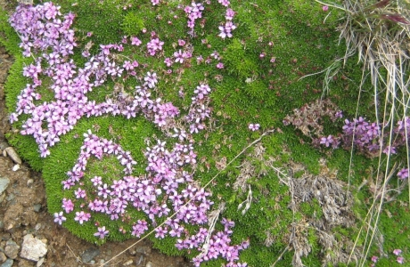リッフエル湖の花②