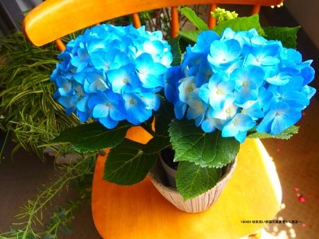 快気祝いの紫陽花