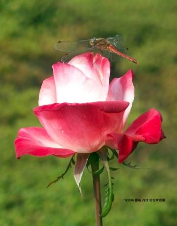 薔薇 丹頂 旧古川庭園