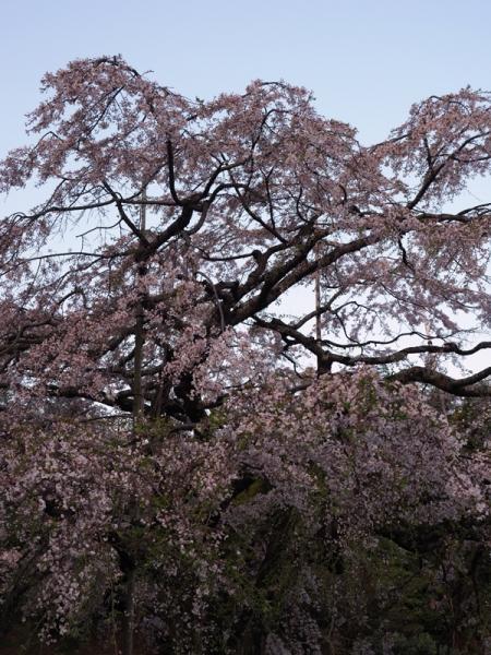 しだれ桜08
