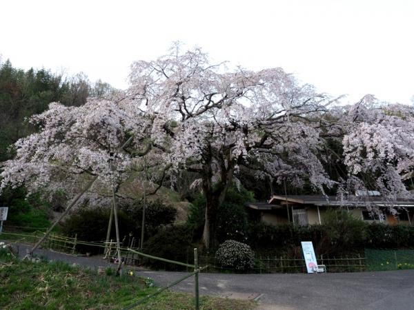しだれ桜06