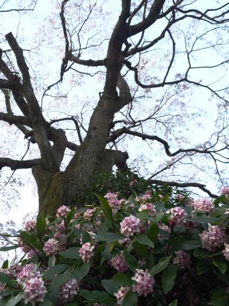しだれ桜10