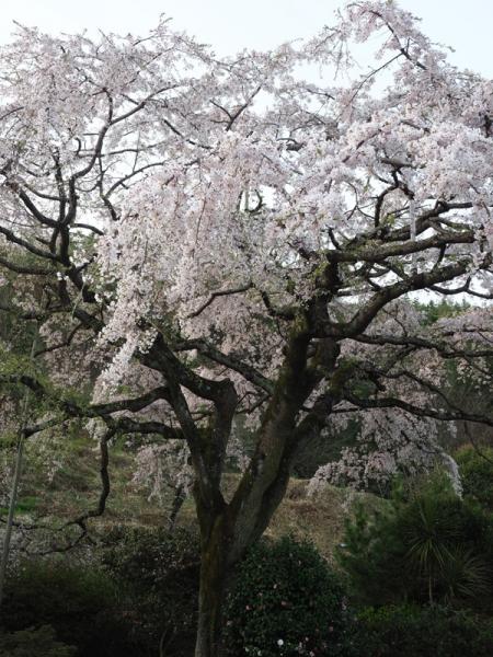 しだれ桜14jpg