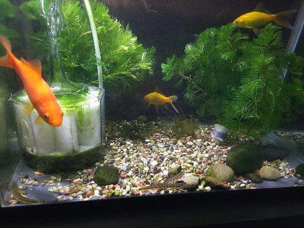 金魚の仲間