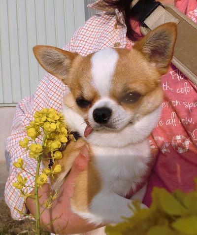 180420-小太郎菜の花-3