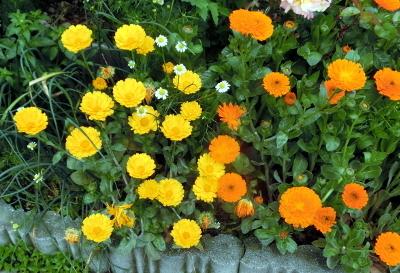 180604-金盞花-5
