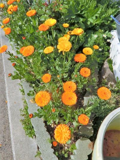 180604-金盞花-1
