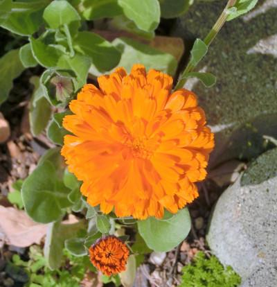 180604-金盞花-2