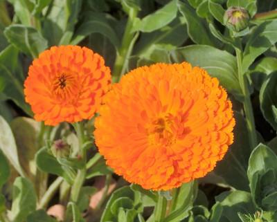 180604-金盞花-3