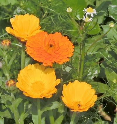 180604-金盞花-4