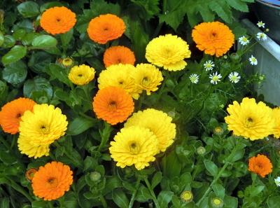 180604-金盞花-7