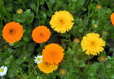 180604-金盞花-8