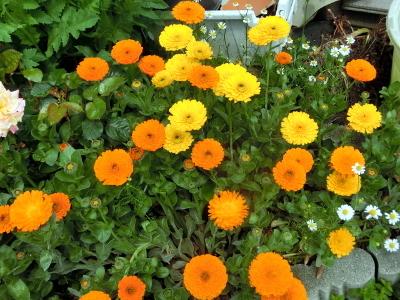 180604-金盞花-6