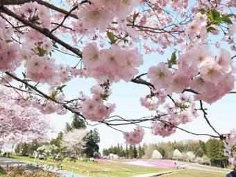 桜と芝桜の丘