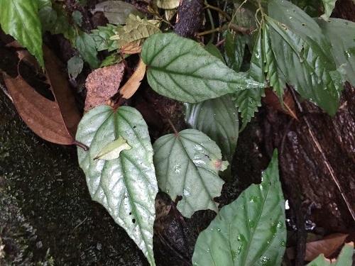 ベゴニアsp.ベントン[Begonia sp. Silver Bentong] Kn便