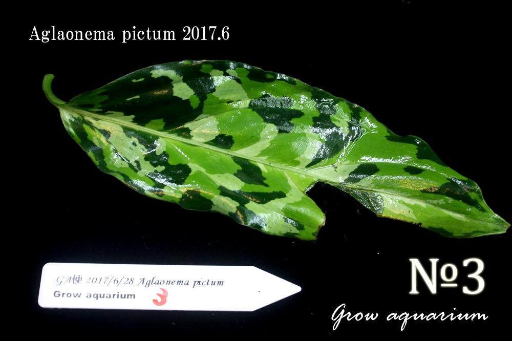 アグラオネマ ピクタム ナンバースリー[Aglaonema pictum No.3]