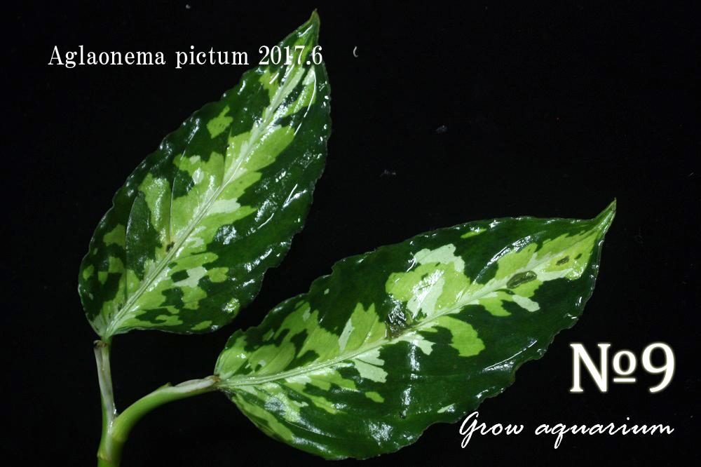 アグラオネマ ピクタム ナンバーナイン[Aglaonema pictum No.9 2017.6]