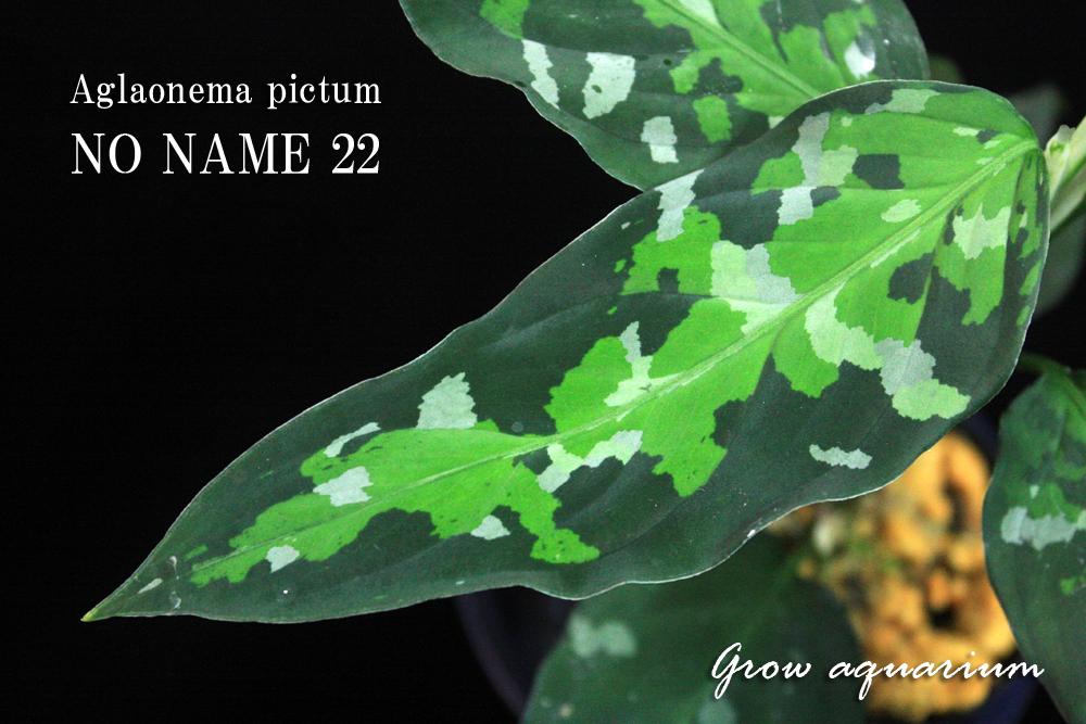 Aglaonema pictum