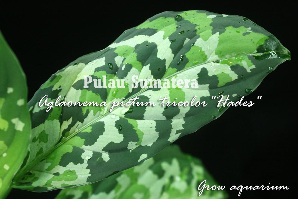 アグラオネマ ピクタム トリカラー ハデス[Aglaonema pictum tricolor