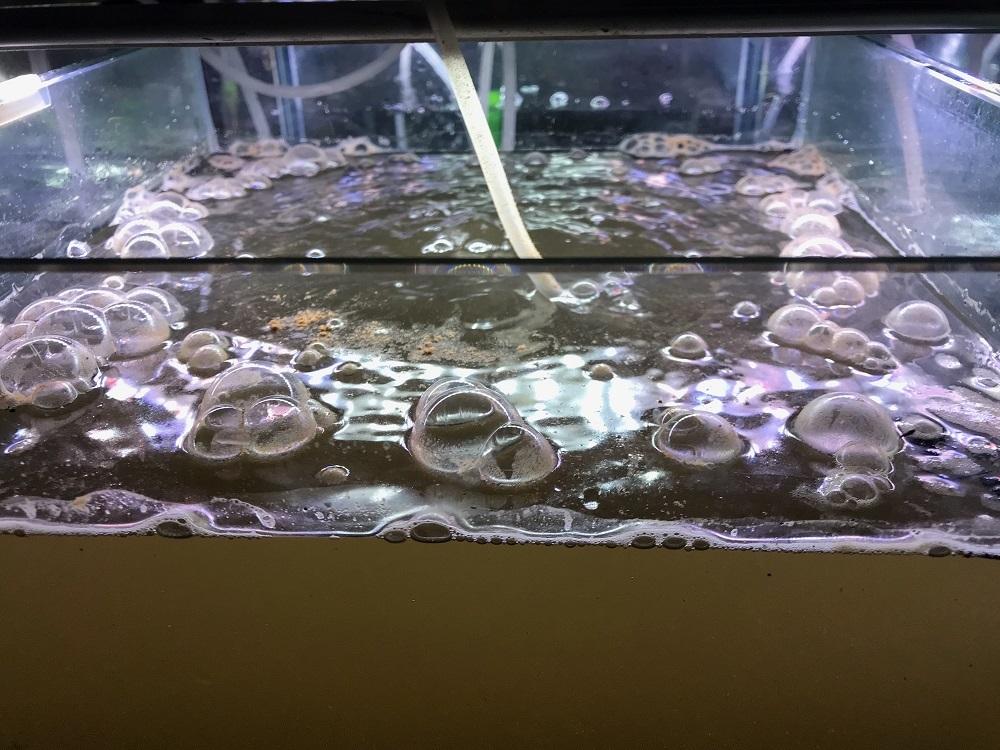 えび繁殖水槽