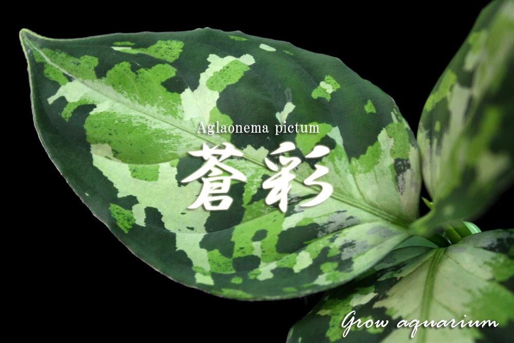 アグラオネマ ピクタム ソウサイ[Aglaonema pictum 蒼彩]
