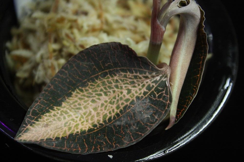 アネクトキルスsp.ラオス[Anoectochilus sp.Laos]