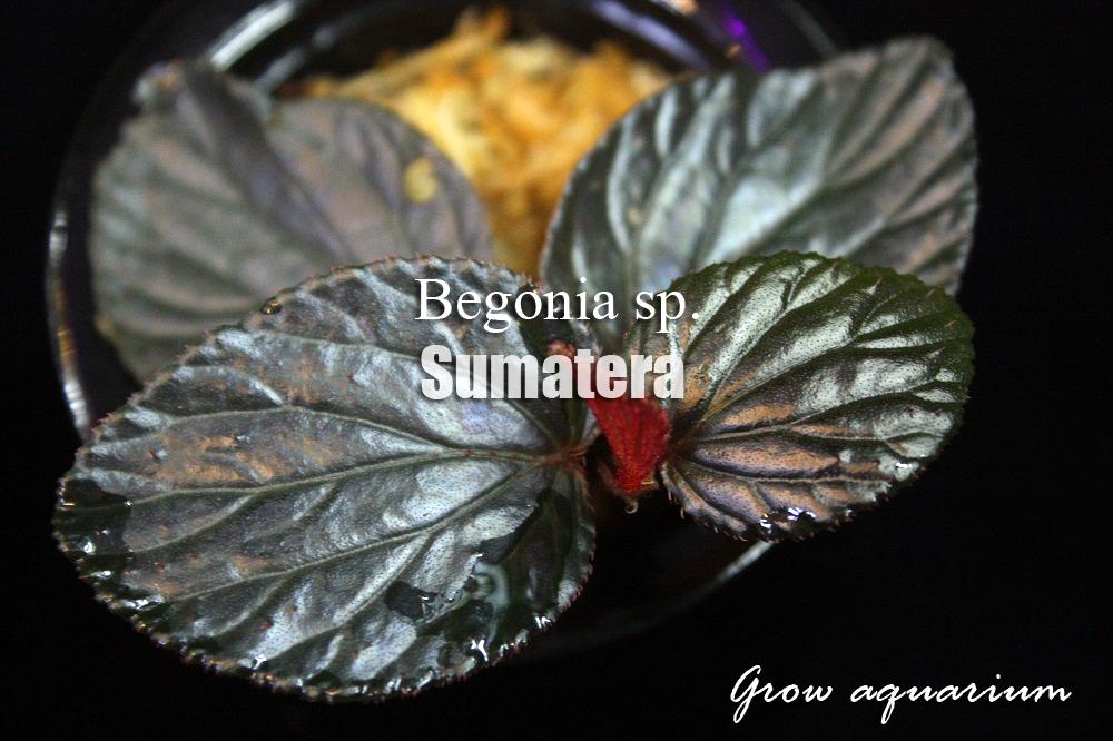 ベゴニアsp.スマトラ[Beginia sp.Sumatera]