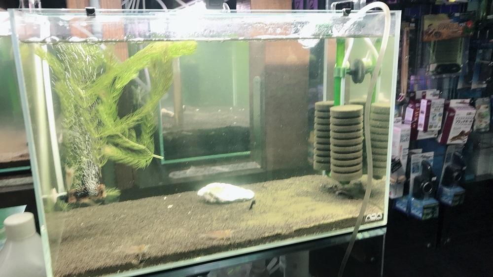 レッドビーシュリンプ繁殖用水槽
