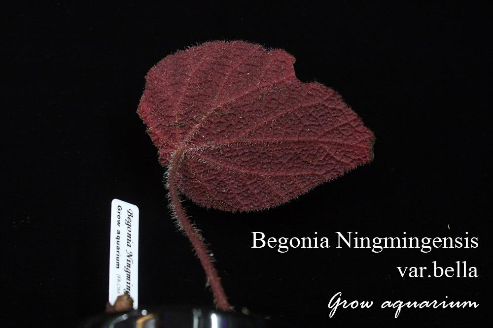 ベゴニア ニンミンエンシス