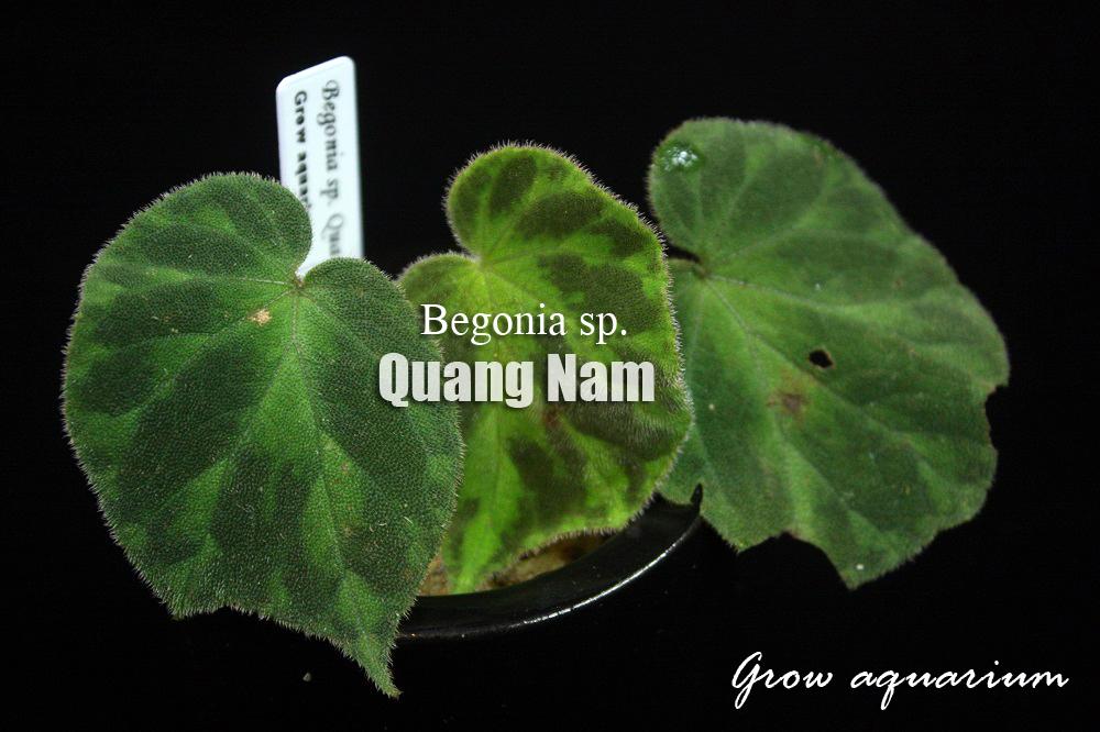 ベゴニアsp.クアンナム[Begonia sp. Quang Nam]