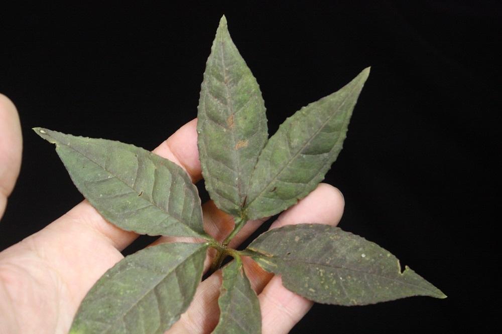 アモルフォファラスsp.スマトラ[Amorphophallus sp.Sumatera]