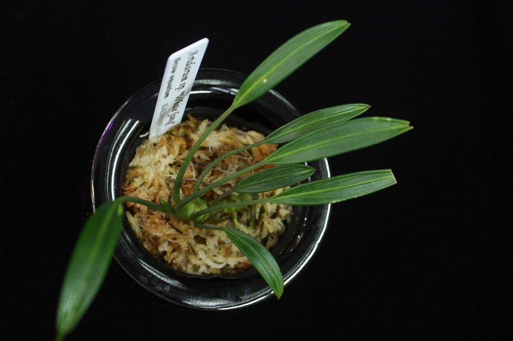アリダルムsp.ホワイトファン[Aridarum sp. White fang]