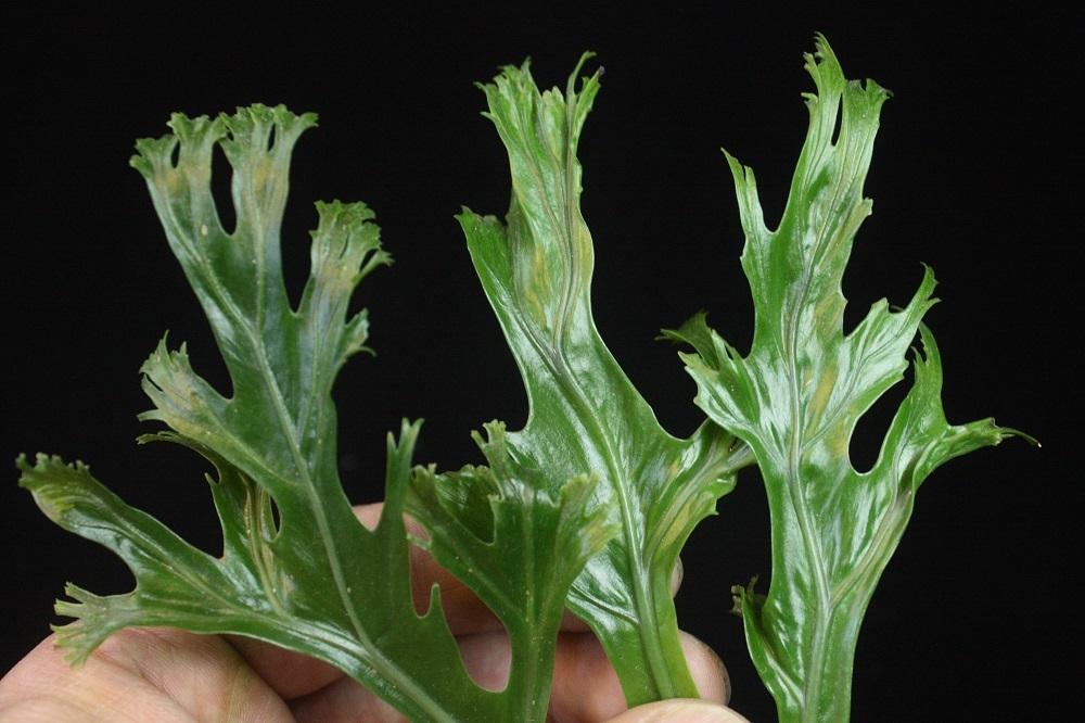 アスプレニウム ニダス フィリピネスハイブリッド[Asplenium nidus Philippines Hybrid]